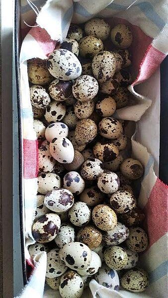 Яйцо инкубационное техасского перепела
