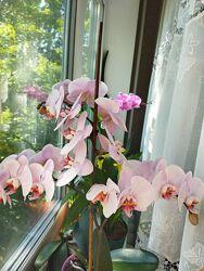 Орхидеи комнатные фелонопсис