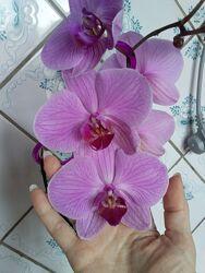 Орхидея орхидеи детка родросток