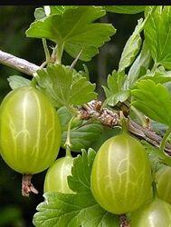 Крыжовник зелёный крупноплодный