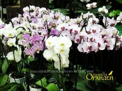Орхидеи оцветашки