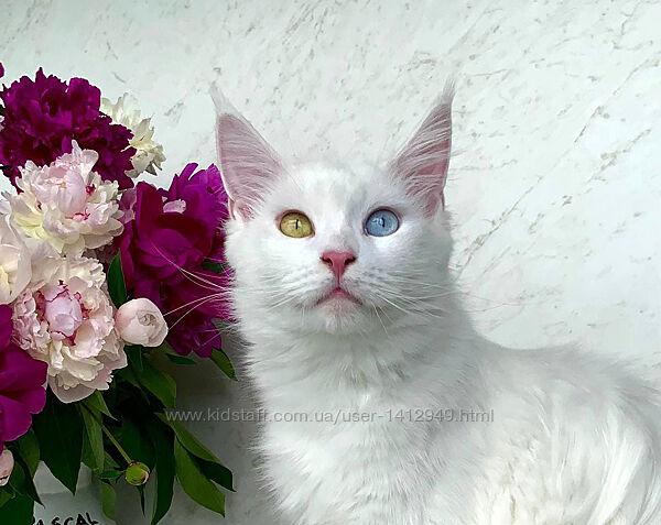 Эксклюзивная разноглазая кошечка альбинос, белый мейн-кун, w63