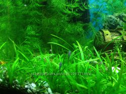 Растения для аквариума. Роголистник