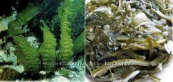 Сушеная морская капуста ламинария