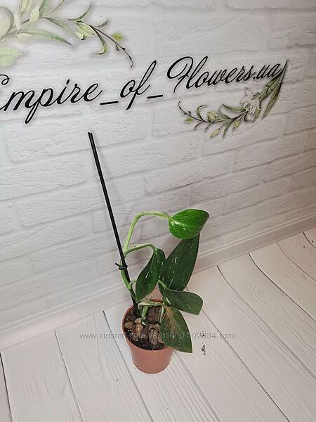 Домашние растений Деленка филодендрон Кобра