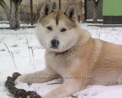 Вязка кобель Западно-Сибирской лайки