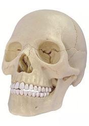 Анатомические модели тела человека. Торс, сердце, мозг, скелет, череп и др.
