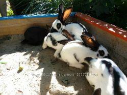 Кролики породи рекс Кастор, німецький строкатий Велетень