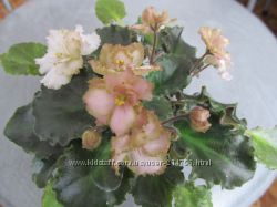 Robs Antique Rose.