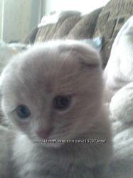 Вислоухие, игривые котята