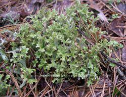 ісландський мох з високогіря Карпат