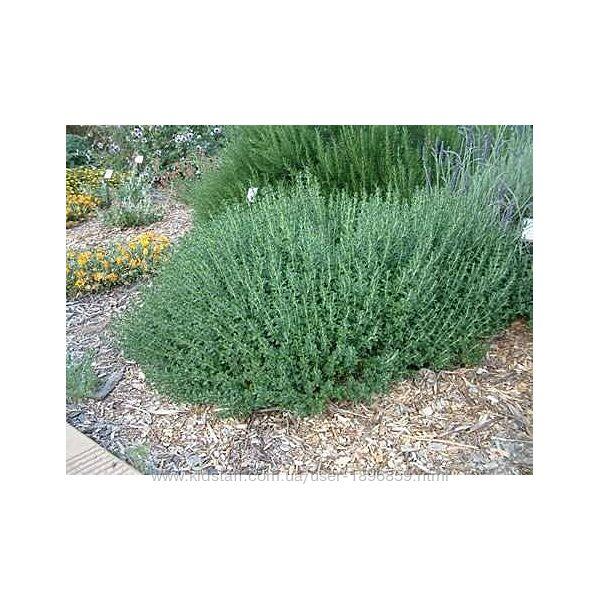 Дубровник вечнозеленый, декоративный кустарник.