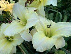 Лилейники крупноцветковые. Наборы