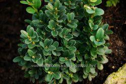 Самшит - вечнозеленый кустарник Buxus sempervirens. Саженцы.