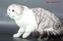 Шотландский вислоухий кот приглашает на вязку
