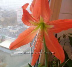 Лилия оранжевая домашнее растение