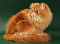 Шикарный Перс. Котик с родословной