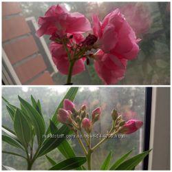 Саженец Олеандра розовый махровый