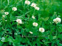 Клевер конюшина белый газоный ползучий семена 1 кг на газон