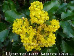 Вечнозеленые растения открытого грунта