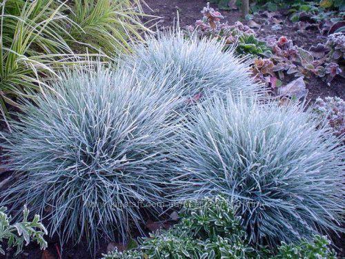 Роскошные злаки для Вашего сада