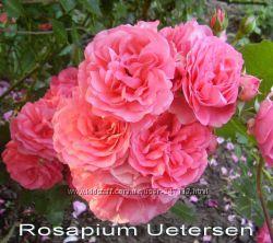 Розы плетистые, кустовые