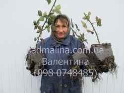 Ежевика - много сортов без колючек