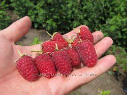 Саженцы малины - сорт Рубиновое ожерелье.