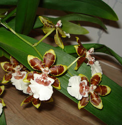 Цветущая орхидея Камбрия