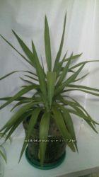 СРОЧНО Юкка комнатное растение