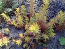 Растения с моей дачи, очитки.