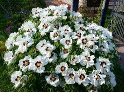 Семена пиона деревовидного, белый, 10 шт сорт Анастасия Сосновец, пион