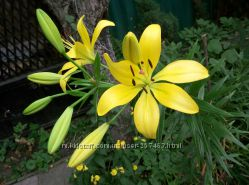 10 грн жёлтая лилия