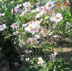 анемона японская Anemone japonica