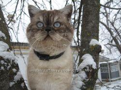 Кот британец для вязки