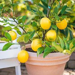 Лимоны плодоносящие. Саженцы Лимона