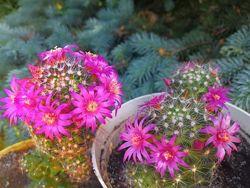 Кактусы цветущие розовыми цветочками