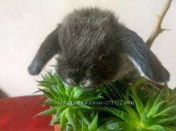 Декоративные вислоухие баранчики кролики