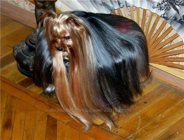 Фото стрижки йорков на длинные волосы