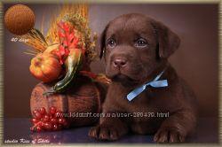 Шоколадные щенки лабрадора в Киеве купить. Питомник
