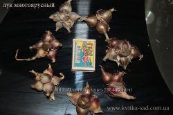 Многоярусный лук, многолетний, живородящий, египетский
