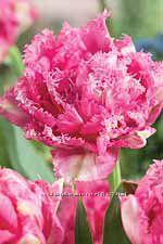 Тюльпаны бахромчатые, попугайные, многоцветковые, махровые,