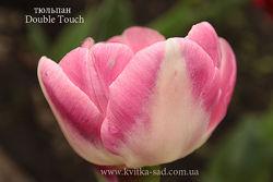 Продам сортовые тюльпаны в миксе