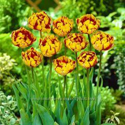 Красивые сортовые тюльпаны попугайные, триумф, махровые. Видео