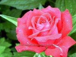 Саженцы роз. Разные виды