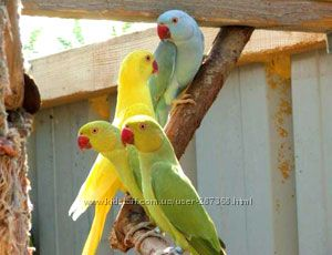 Продам ожереловый попугай ручные птенцы разные цвета