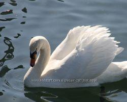 продам домашний белый лебедь, ручные птенцы и пары лебедей