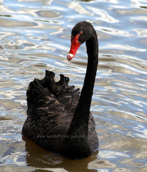 Продам домашний черный лебедь собственного разведения