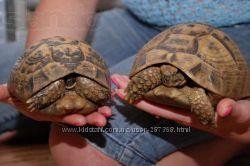 греческая сухопутная черепаха Testudo graeca 25-28см