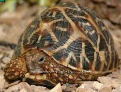 Черепаха звездчатая , сухопутная черепаха Geochelone elegans